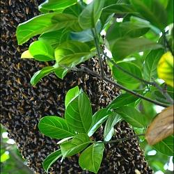 Ong rừng xây tổ ấm
