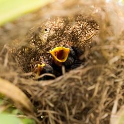 Tổ chim trên cánh đồng Tả Phìn