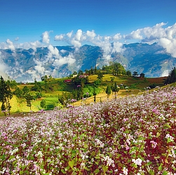 hoa Tam Giác Mạch ở Hà Giang