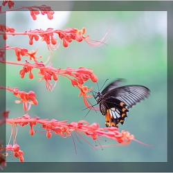 A Love Story between a cute Butterfly (Papilio Polytes) and a beautiful Flower