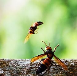 Vũ điệu ong