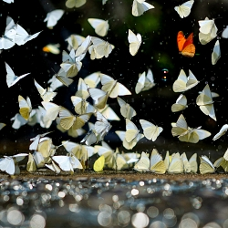 The shimmering butterflies