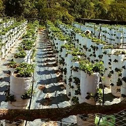 Vườn Nho sạch