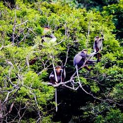 Loài Vooc linh trưởng này sống theo gia đình từ 8 – 12 thành viên ở các tầng tán cao của rừng tại Kh