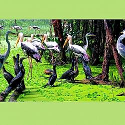 Chung sống (Vườn chim Bạc Liêu)